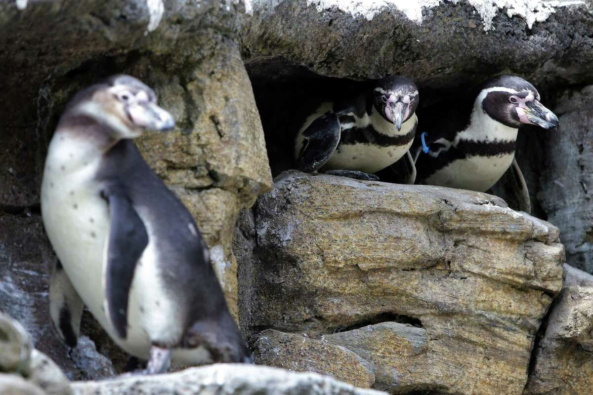 The Woodland Park Zoo's 45 Humboldt penguins hang out in their habitat enclosure, Thursday, June 14, 2018.
