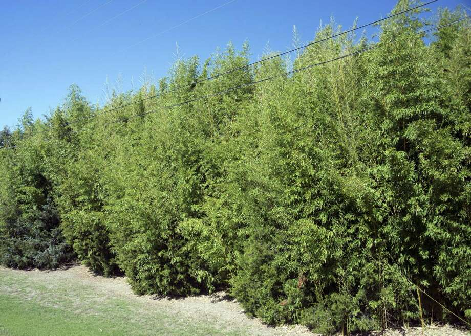 No invader that we have in our landscapes is any more difficult to eliminate than bamboo. Photo: Courtesy Photo