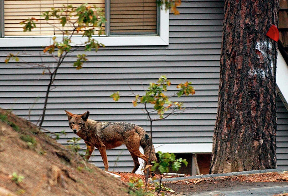 FILE - In this Sunday, Nov. 2, 2003 file photo, a coyote wanders through a neighborhood in Cedar Glen, Calif., in the San Bernardino Mountains. Scientists have long known that human activity disrupts nature. And the latest research released on Thursday, June 14, 2018, found fear of humans has caused many species to increase their nighttime activity by 20 percent. (AP Photo/Marcio Jose Sanchez) Photo: Marcio Jose Sanchez / AP2003