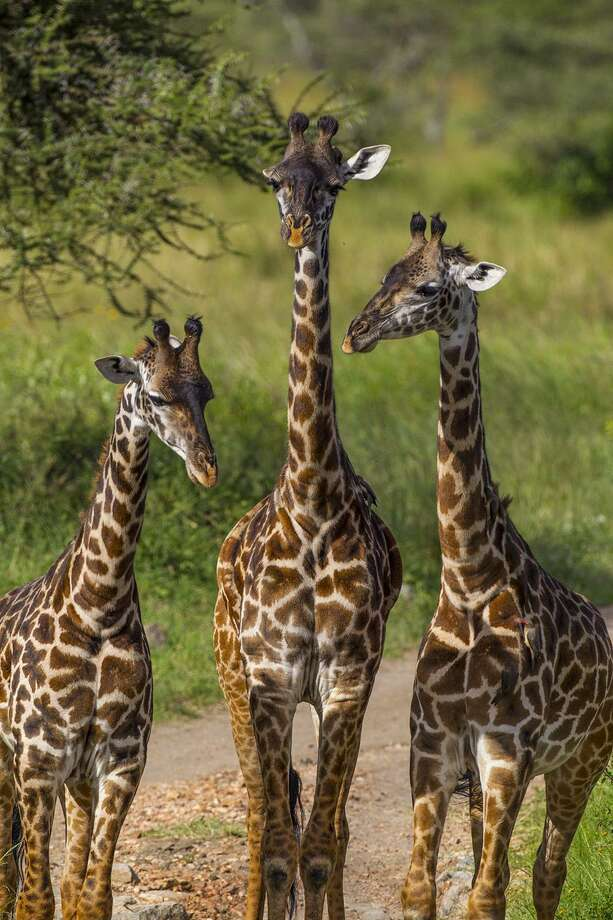 The hide of a giraffe is decorated in a patchwork of brown spots. Photo: Kathy Adams Clark / Kathy Adams Clark/KAC Productions / Kathy Adams Clark/KAC Productions