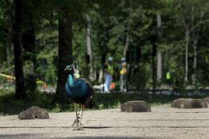 A peacock passes through a construction area at the Houston Arboretum and Nature Center, as workers build a savannah ecosystem in the park.