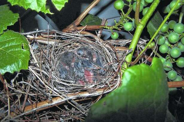 Baby redbirds rest in a nest in a grapevine. They are about a week old.