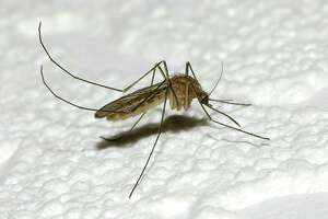 (FILES) To prevent illnesses such as West Nile virus carried by mosquitoes, the Stratford Health Department has teamed up with the town's Public Works Department to treat the town's 5,283 catch basins with a non-toxic larvicide.