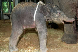 Tilly was born early Sunday at the Houston Zoo. The elephant calf came in at 345 pounds.