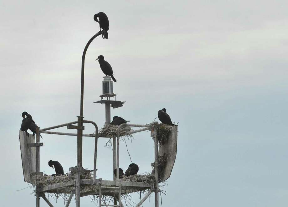 Double Crested Cormorants perch on a channel marker during a bird watching tour of Long Island Sound and the islands off the coast of Norwalk hosted by The Norwalk Seaport Association on Sunday June 10, 2018 in Norwalk Conn. Photo: Alex Von Kleydorff / Hearst Connecticut Media / Norwalk Hour
