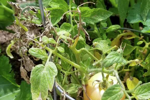 These tomatoes are suffering the double whammy of early blight and spider mite damage.