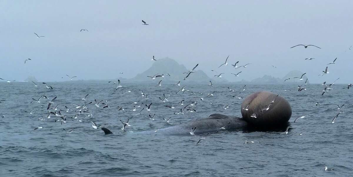 A blue whale carcass was found floating near the Farallon Islands on Saturday, June 16, 2018.