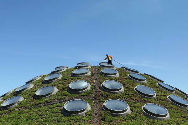 Contractor Guadencio Sanchez waters the Living Roof at the California Academy of Sciences in San Francisco's Golden Gate Park. The academy's green rooftop keeps the building's interior an average of 10 degrees cooler than a standard roof would. The plants also transform carbon dioxide into oxygen, capture rainwater, and reduce energy needs for heating and cooling.