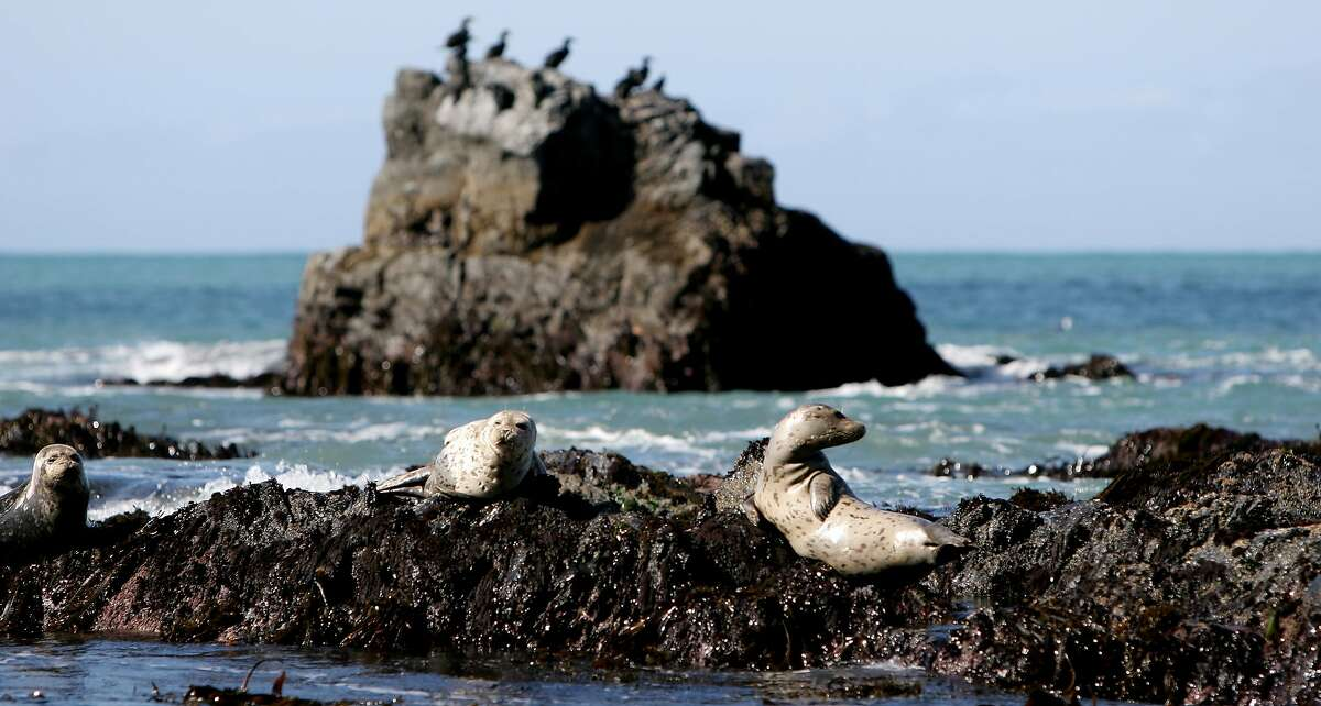 Harbor seals and cormorants lounge on rocks near Shipman Creek on the Lost Coast Trail. The Lost Coast abounds with bobcat, bear, deer, racoons, cougar, seals, sea lions, otters and migrating whales. Paul Joseph Brown photo/Seattle P-I