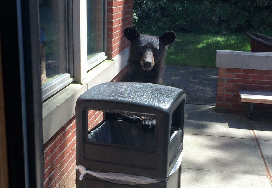 Keep clicking for recent bear and other wild animal sightings in the Capital Region. A bear was spotted outside the Guilderland Public Library on Tuesday, June 19, 2018, in Guilderland, N.Y. (Courtesy/Amy McCarthy)