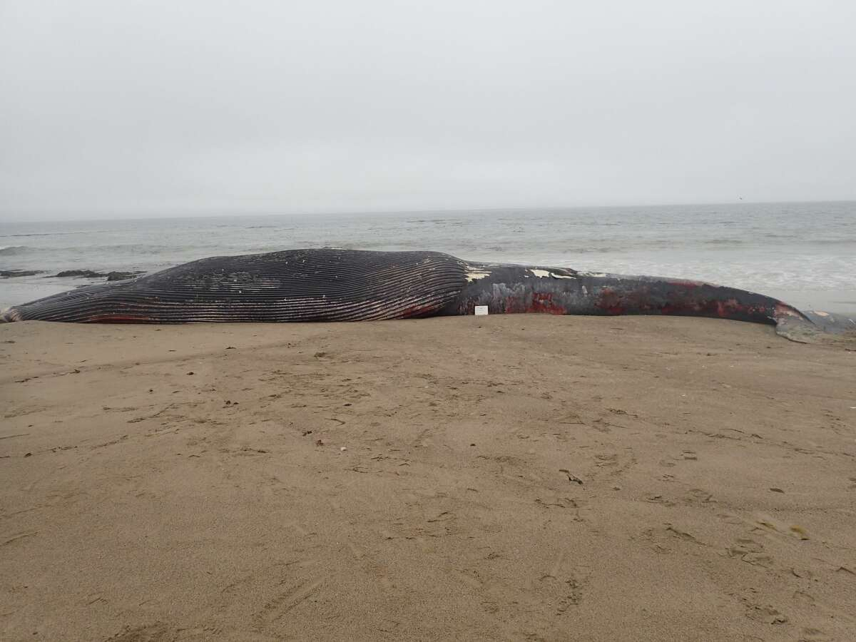 Scientists confirmed Tuesday that the 62-foot juvenile female blue whale that washed ashore in Point Reyes died due to blunt force trauma from injuries consistent with a vessel collision.