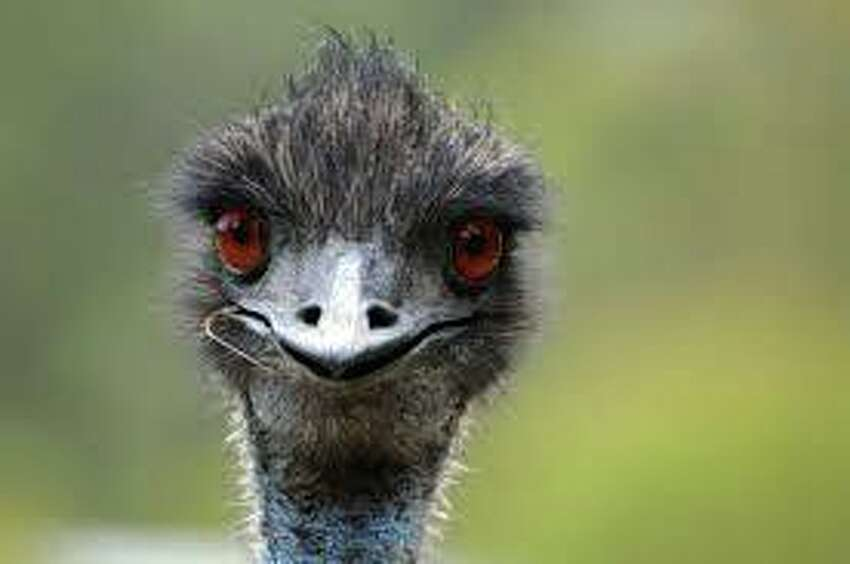 Charles is an emu that lives at the Berkshire Bird Paradise in Rensselaer County.