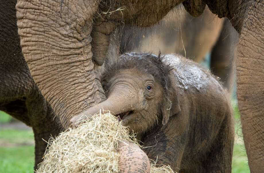 houston zoo s newest baby elephant is pretty adorable houston