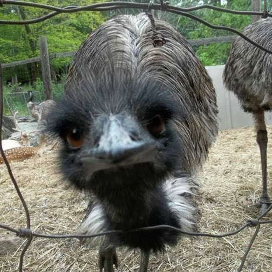 Charles, an emu that lives at the Berkshire Bird Paradise in Rensselaer County, got free Tuesday, June 19, 2018. If you see him, you can call the sanctuary at 518-279-3801. Photo: Courtesy: Berkshire Bird Paradise