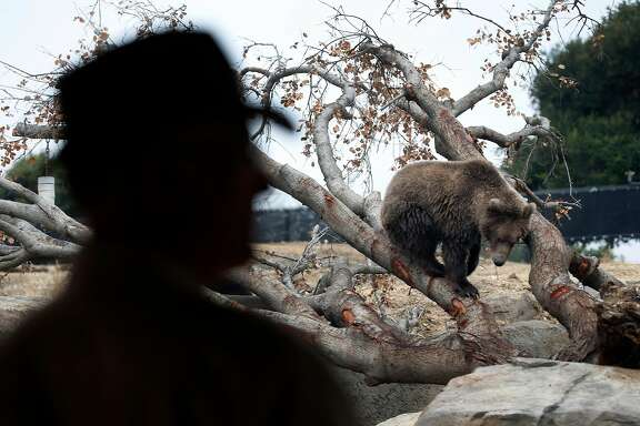 Dr. Joel Parrott, president and CEO of the Oakland Zoo, observes grizzly bears exploring their habitat during a preview of the California Trail exhibit at the Oakland Zoo in Oakland, Calif. on Wednesday, June 20, 2018. The exhibit featuring wildlife native to California opens to the public in July.
