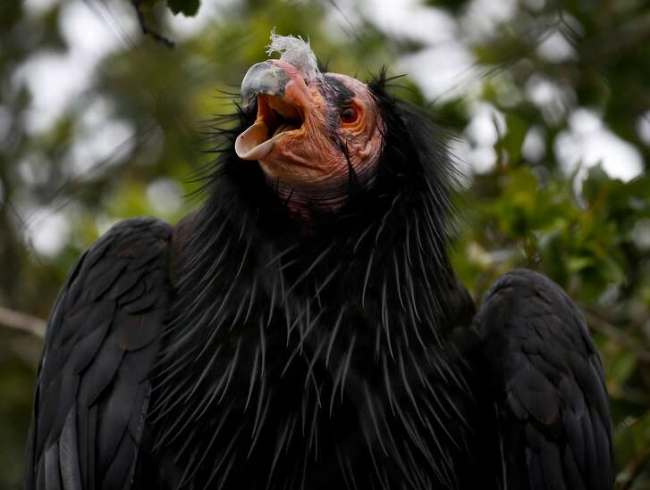 A California condor roosts in a tree at the California Trail exhibit at the Oakland Zoo in Oakland, Calif. on Wednesday, June 20, 2018. The exhibit featuring wildlife native to California opens to the public in July.