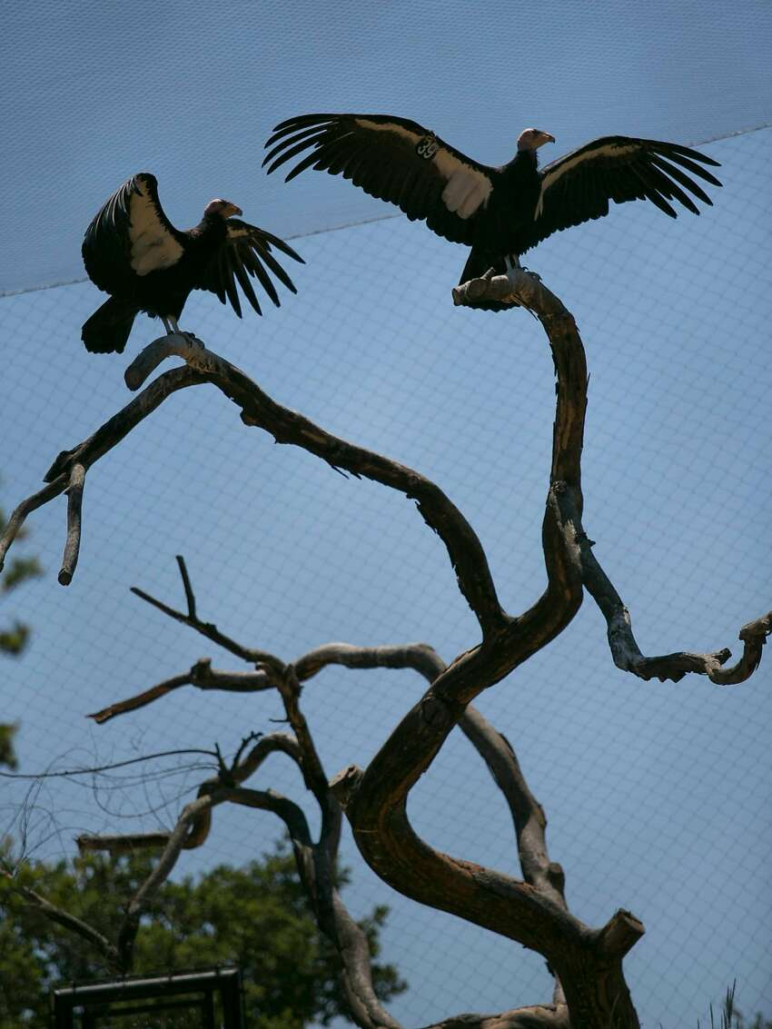 California condor's spread their wings on the California Trail at the Oakland Zoo.