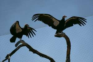 California condor's spread their wings on the California Trail at the Oakland Zoo. The entirety of the California Trail opens in mid-July 2018 at the Oakland Zoo.