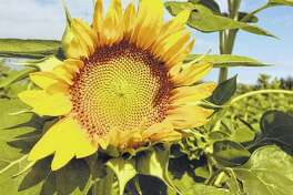 A sunflower opens to the blue skies, greeting the summer sun. Summer begins today and continues until Sept. 22.