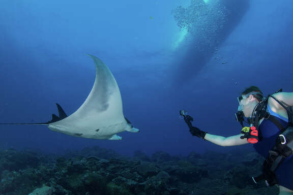 Juvenile male manta with diver at Flower Garden Banks National Marine Sanctuary.