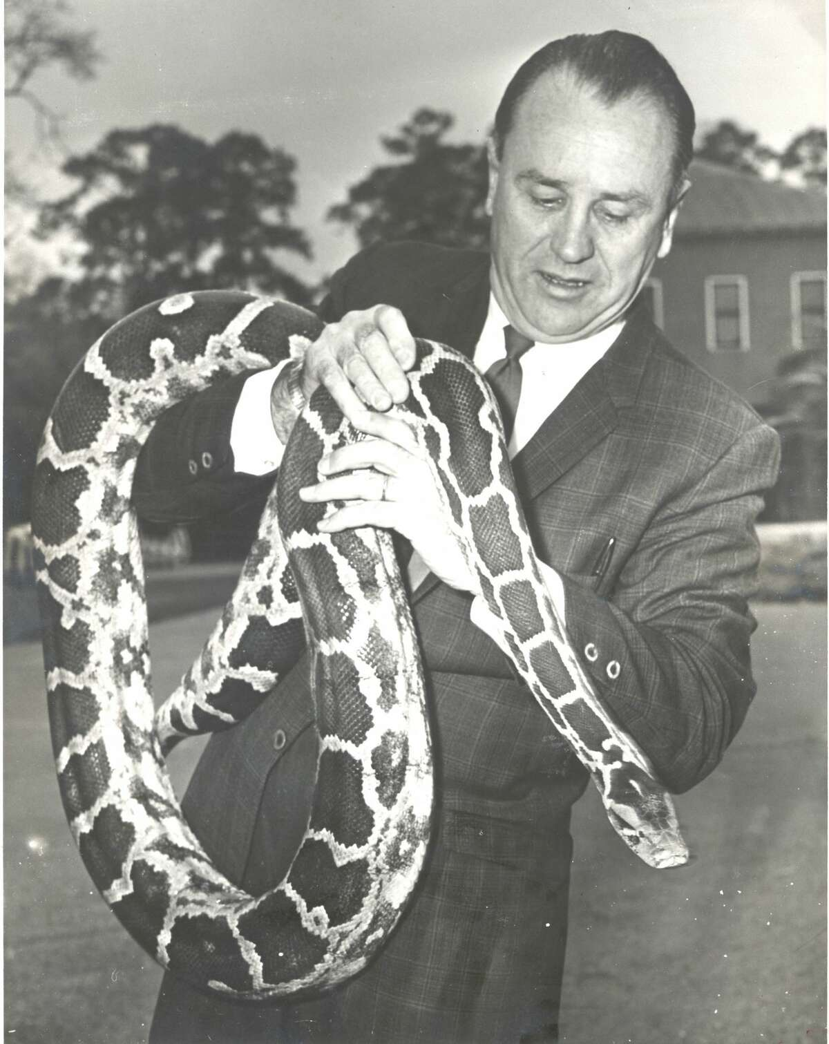 February 1970: The traveling python of River Oaks, a fugitive from the suitcase of Los Angeles Zoo curator Bill Turner, is clutched here by John Werler, curator of the Hermann Park Zoo. Werler doesn't want the 9-foot snake-Turner had already tried to trade it to the Houston Zoo--but he has agreed to keep it until his owner takes him home. Police were dubious about taking it to headquarters when they discovered it wandering on Argonne St. on the edge of River Oaks. The snake escaped the suitcase when a burglar robbed the car in which it was being transported. Some burglar got a real surprise.