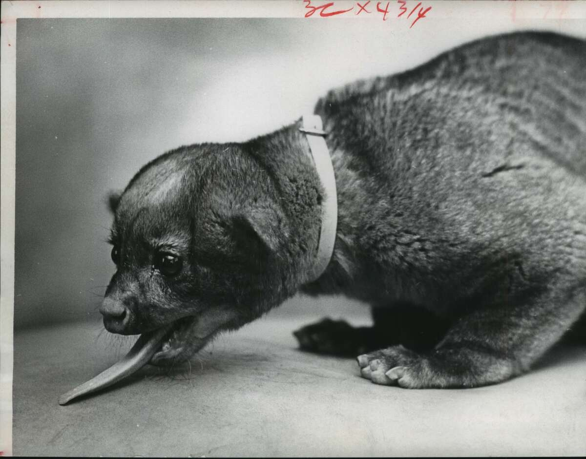 April 1966: A kinkajou found wandering along West Gray was being held by the SPCA for its owner. The animal, also known as a honeybear, is a native of Mexico and Central America.
