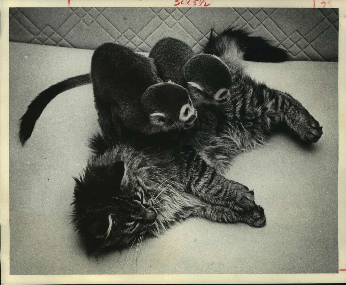 February 1969: Two escaped spider monkeys and a stray tomcat frolic in friendship. The cat, dubbed Bobo by Mr. and Mrs. Donald Shaw, 5037 Polk, Apt 1, where he took up temporary lodging, showed up in company with the long tailed duo. The monkeys played with the cat at the Shaw apartment until the monkey's owner, Jesse T. Campos, 1126 Weaver, brought a cage to snare the pair Wednesday. He had been unable to catch the monkeys until Bobo came along. The Shaws also gave Campos the cat.