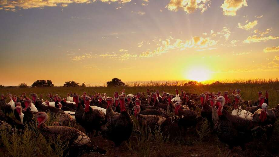 A flock of turkeys, which along with pigs and chickens are raised on factory farms. Photo: Sundance Selects