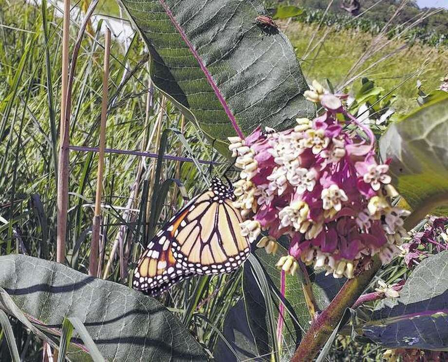 A monarch butterfly rests on a flower in Scott County. Reader Penny Moore-Garner says the butterfly's appearance helps her know conservation efforts made on the farm are paying off.