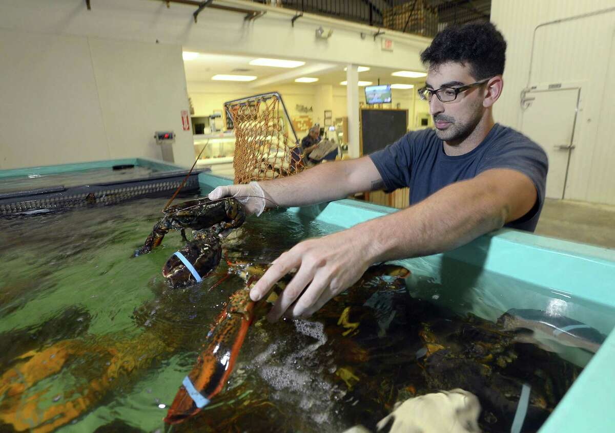 Dillon Burns, retail Manager for New Wave Seafood in Stamford holds some of the lobsters his store imports in from Maine on Friday, June 24, 2016.