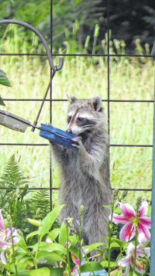 A raccoon stumbles upon a little breakfast in the country.