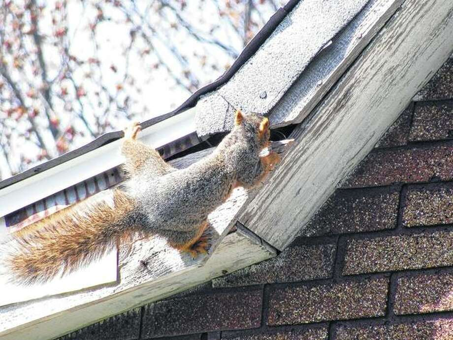A squirrel seems to be having a hard time deciding which way to go on the roof of an old house in Scottville. Photo:       Beverly Watkins | Reader Photo