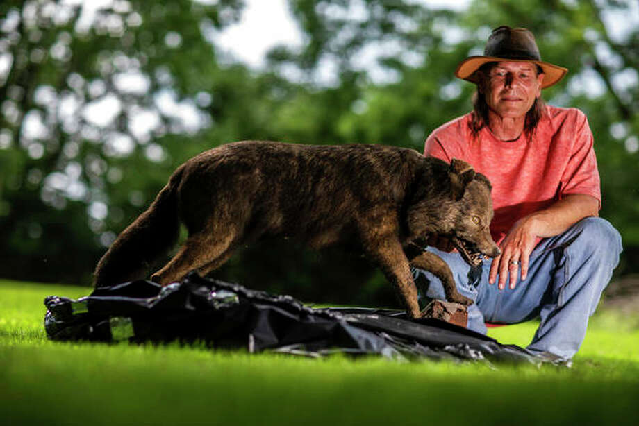 "In this Thursday, May 31, 2018 photo, Jay Smith poses with ""OT,"" what he believes is a mounted red wolf native to Illinois at friends home in Batavia, Ill. He said the animal was killed by a Schuyler County Sheriff in 1932. Jay Smith is working with the Field Museum and Illinois Department of Natural Resources to determine the species of wolf-like animals that are roaming his land."