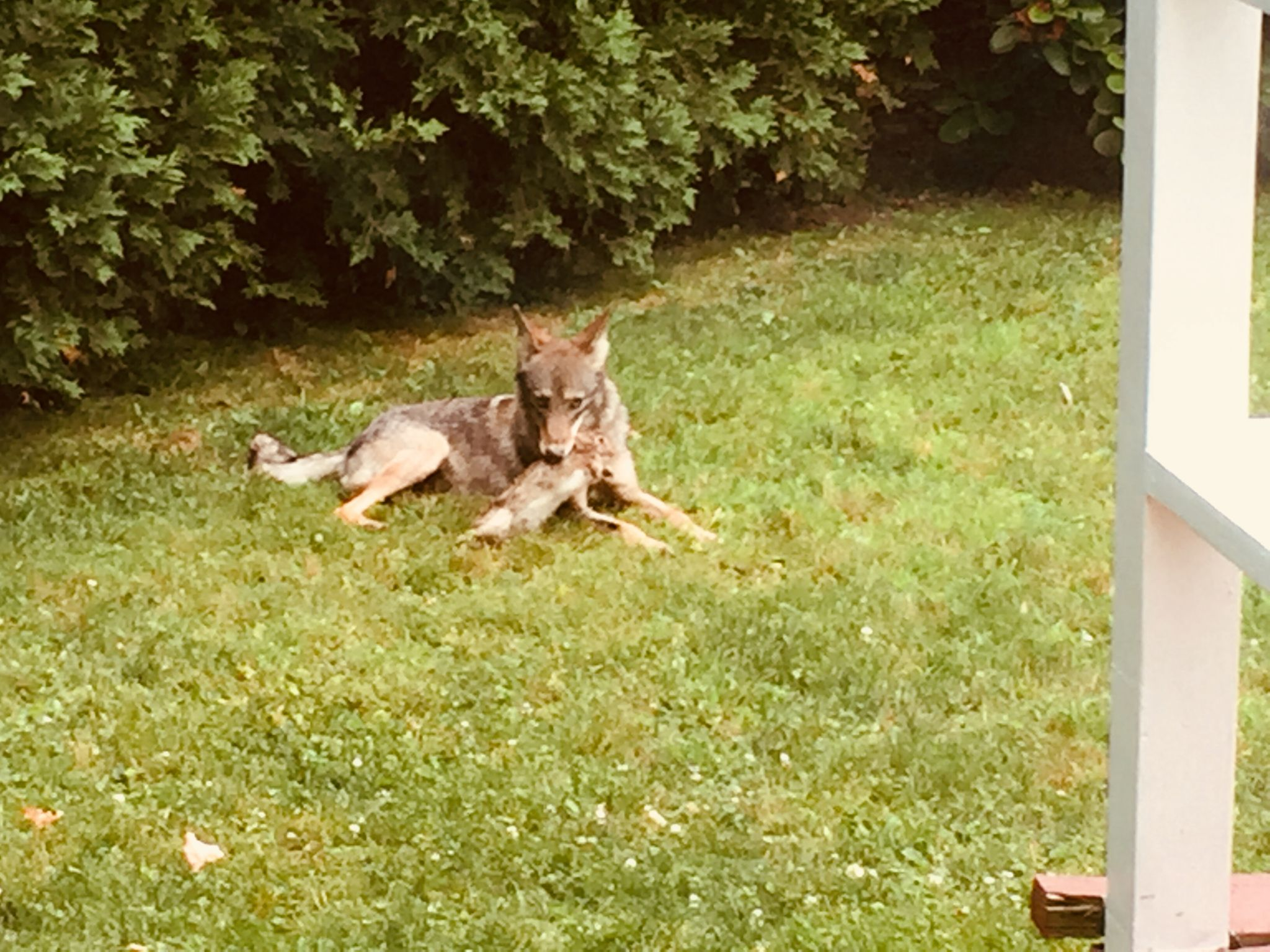 Coyote spotted in fenced-in Riverside yard; another in ...