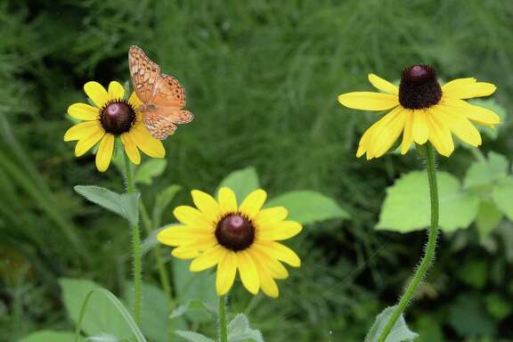 A butterfly rests on a wildflower at the Houston Arboretum & Nature Center, Houston, TX on Thursday, June 21, 2018.