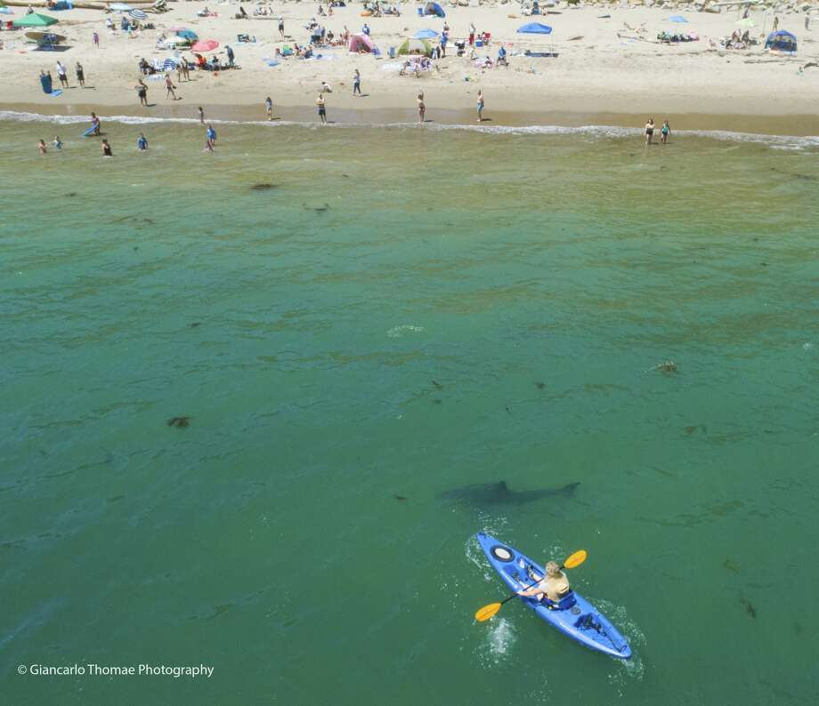 Nicolle Otman paddles in a kayak as great white sharks circle. Captain and Marine Biologist Giancarlo Thomae took the video and says about 40 young great whites are making the waters off Aptos their home in spring. Photo taken: June 23, 2018 Photo: Giancarlo Thomae/Sanctuary Cruises