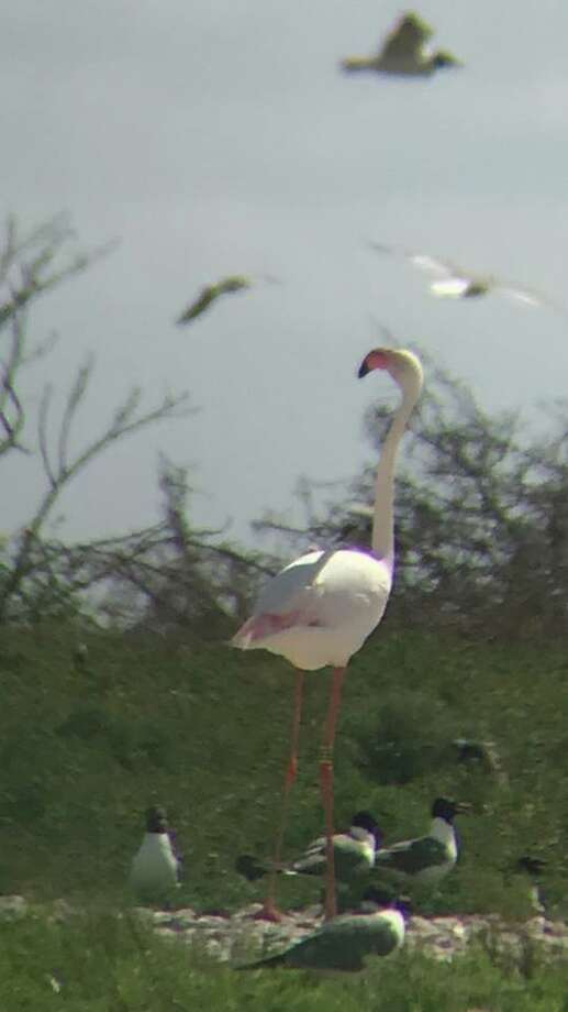 Thirteen years later, a vagabond flamingo is still soaring the open skies in South Texas, 700 miles from the Kansas zoo it escaped from. Named No. 492 for its leg band, the escapee was seen near Lavaca Bay, near Victoria, recently. Photo: TPWD Coastal Fisheries