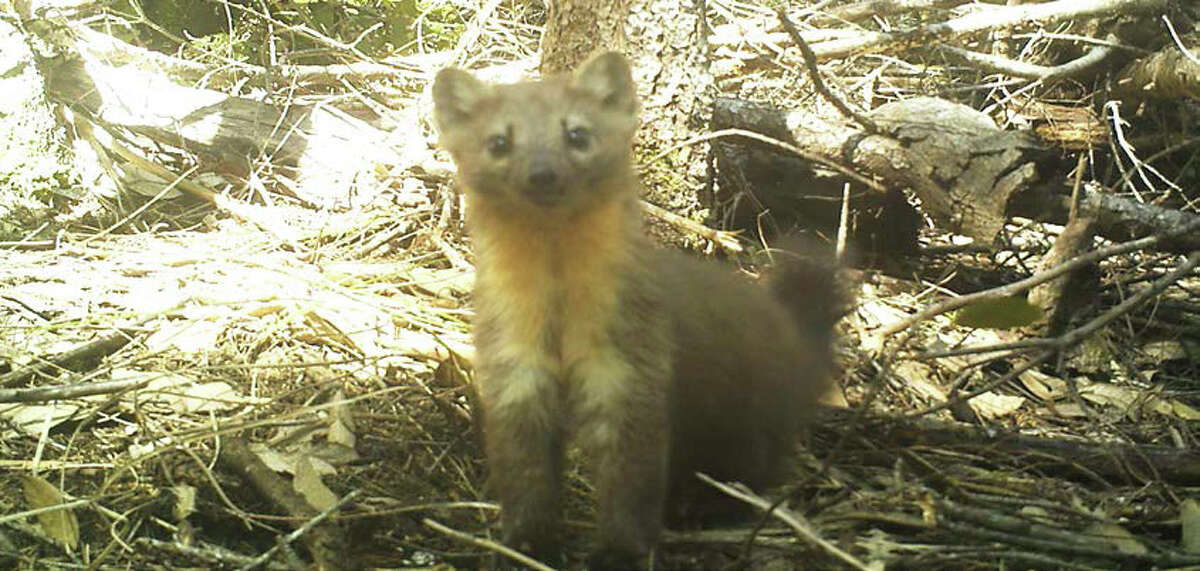 Conservation groups are rallying to save the Humboldt Marten, a furry, kitten-sized relative of minks and otters.