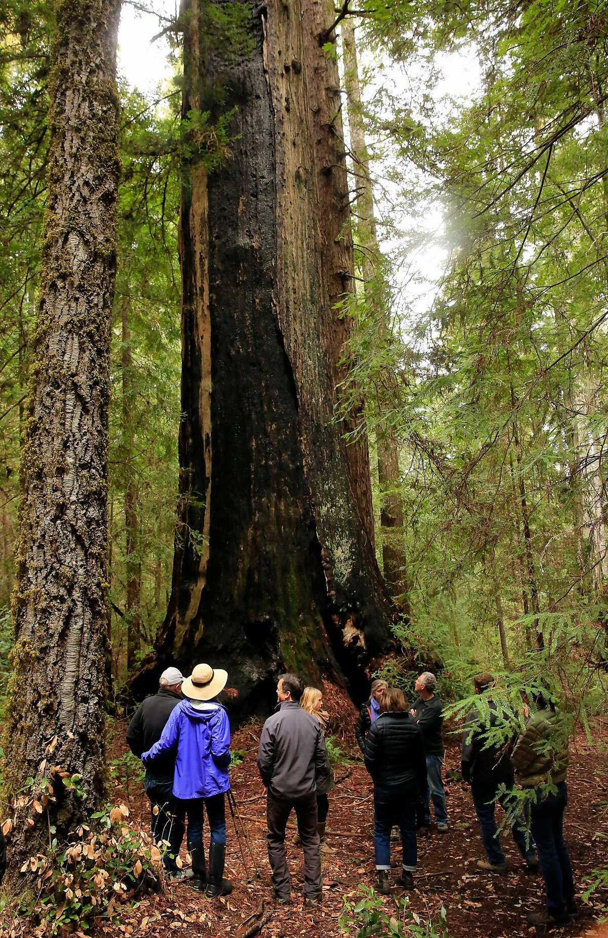 A group of visitors tour the McApin Tree which measure 19 feet across and is believed to be over 1,000 years old, as seen on Fri. March 9, 2018, in Cazadero, Calif. The Save the Redwoods League has acquired the 730 acres property which will be known as the Harold Richardson Redwoods Preserve.