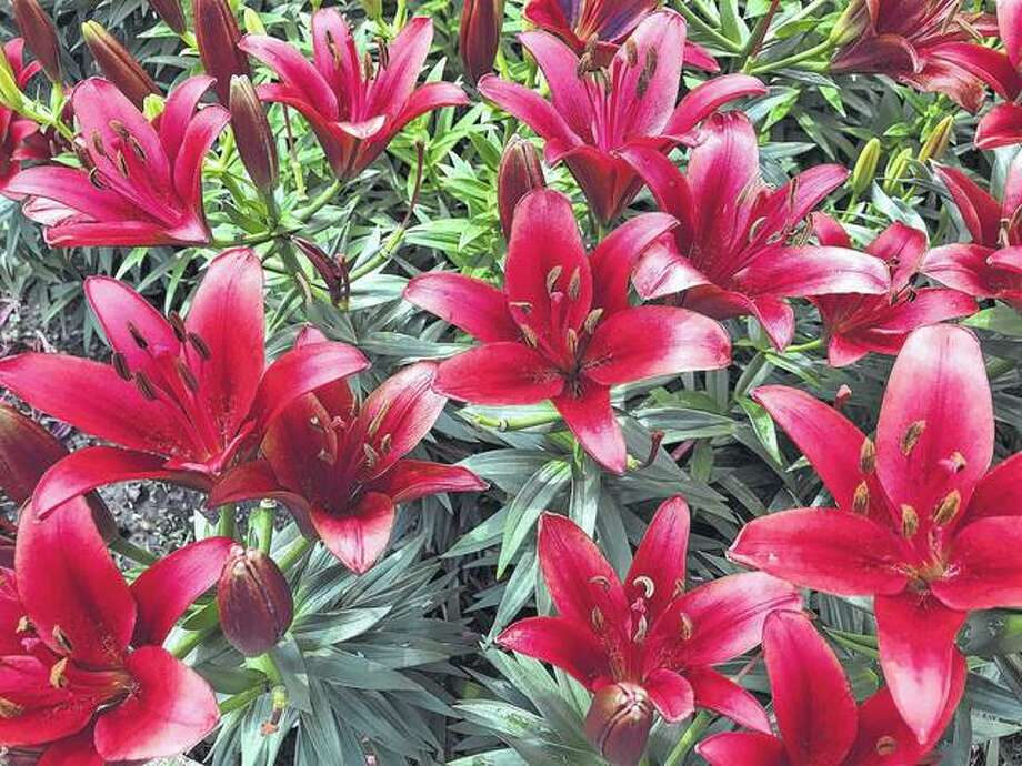 "Vibrant red tiger lilies commonly called ""Commander in Chief"" brighten a garden."