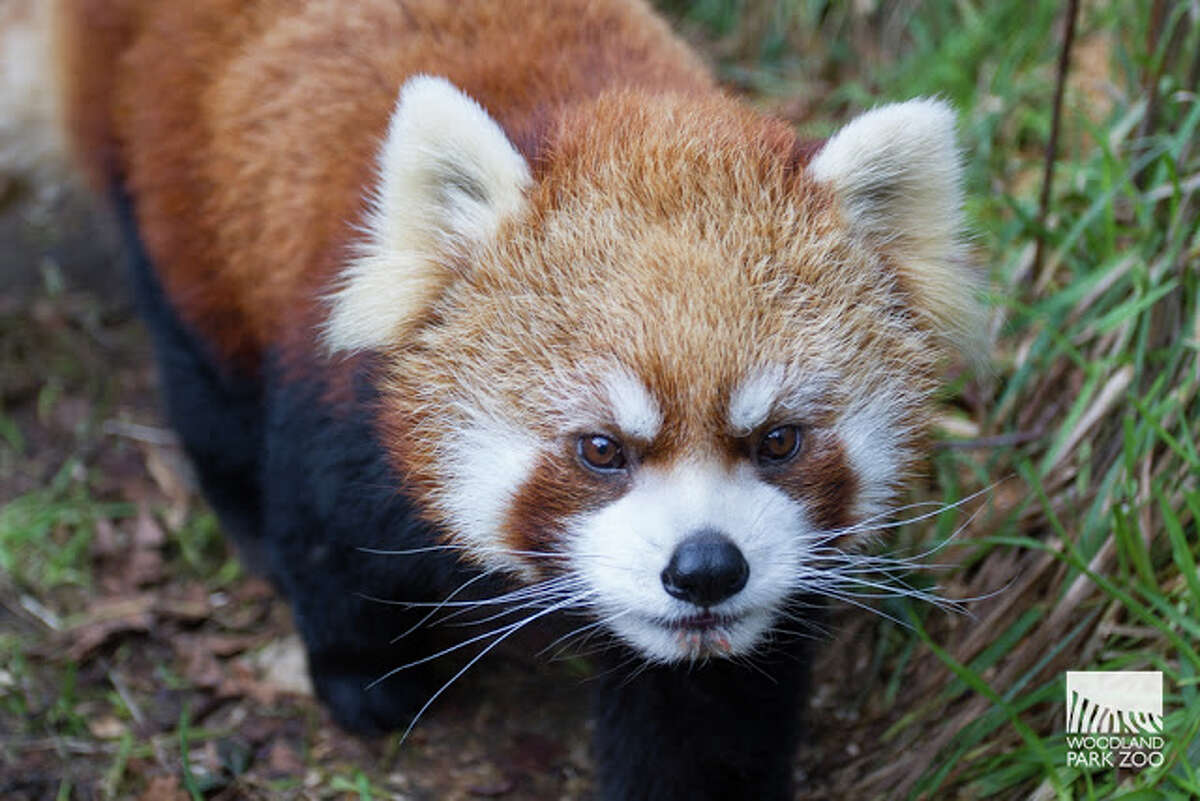 Yukiko, 13, is the cubs' father and was paired with Hazel to maintain red panda species survival.