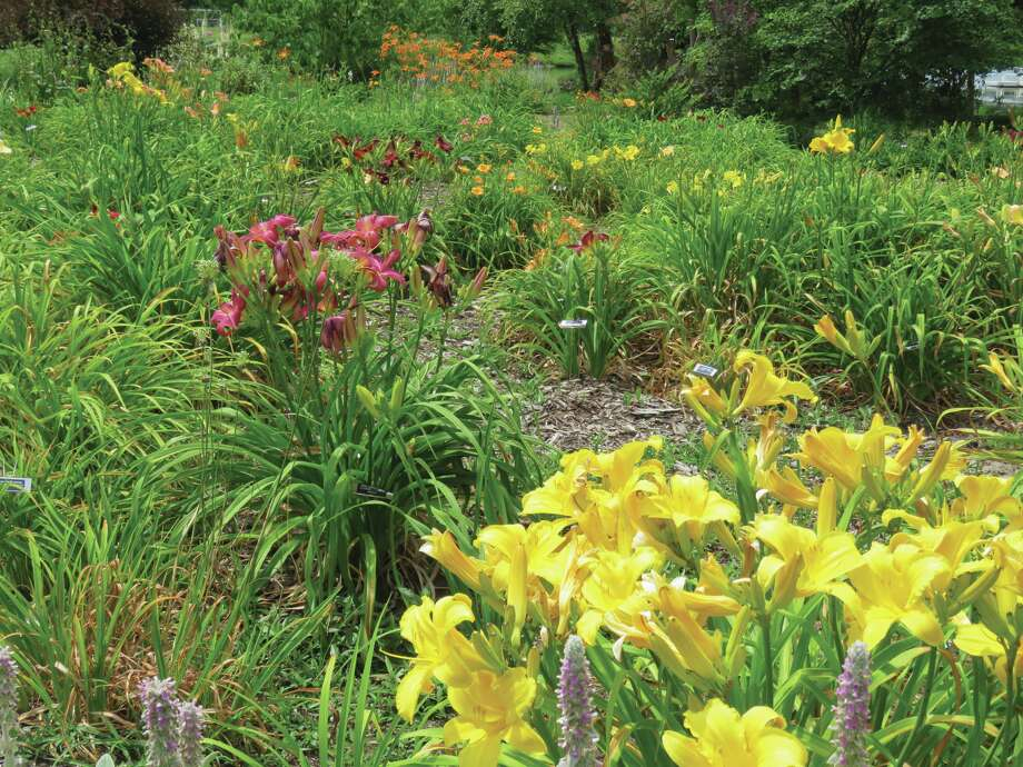 On Thursday evening, June 28 from 6:00 to 8:00 p.m. the University of Illinois Extension Master Gardeners will be stationed around the Open Gate Demonstration Garden in Drost Park in Maryville to answer questions about your specific garden inquiries. They will also be selling over 150 varieties of daylilies that evening. The event is free and the lilies should be at their peak. To get to the Open Gate Demonstration Garden from Hwy. 159 take Vadalabene Drive to Schiber Court, then turn into the park on Myron Provence Parkway. You can also Google #8 Schiber Court or Drost Park.
