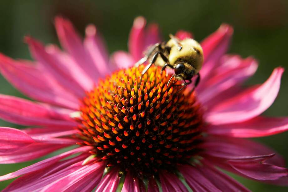 A bee collects pollen from a Echinacea Purpurea flower at the Botanical Garden in New York City. The state's bee population has been dying off at an alarming rate. Photo: Mary Altaffer / Associated Press 2009