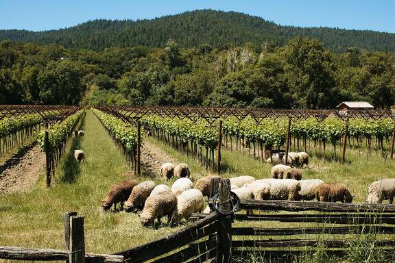 Sheep graze the vineyards at Pennyroyal Farm in Boonville, Calif., Monday, May 28, 2018.