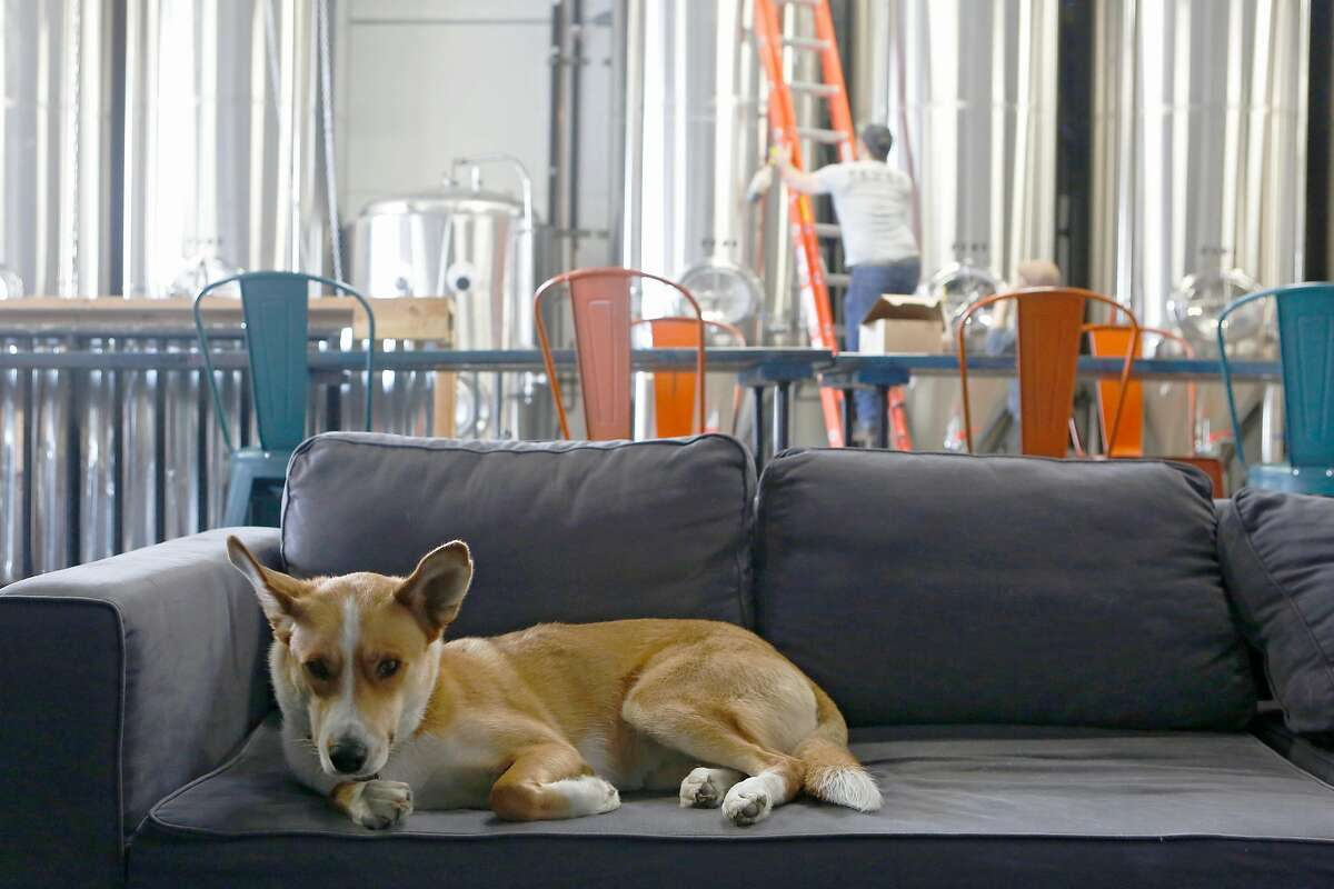 Dog Tessie, owned by co-founder Tim Obert (not pictured), of Seven Still brewery on Egbert St. looks out on Wednesday, June 20, 2018 in San Francisco, Calif.