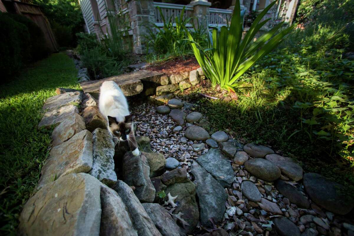 Dante, Kathleen English and Steve Stelzer's cat, checks the dry garden in the front yard for lizards.