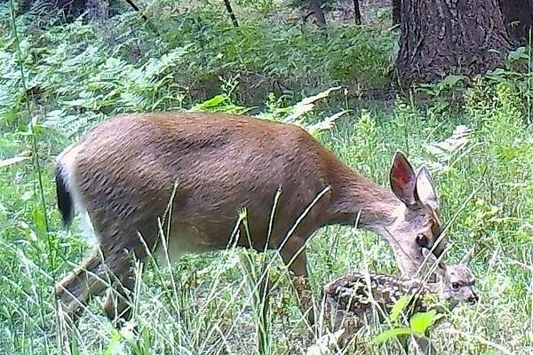 A doe nuzzles its newborn�fawn�as it takes it first unsure step. Newborn wildlife is emerging across the the Sierra Nevada, Shasta-Cascade and Siskiyou ranges of Northern California.