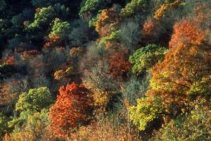 The annual fall explosion of colors transforms the canyons of Lost Maples State Natural Area, especially along the Sabinal River, where an ancient and rare stand of Bigtooth Maples still survives. Texas Parks and Wildlife