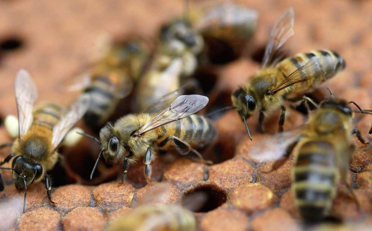 Bees on honey frames.