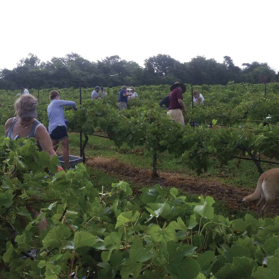 Volunteers harvest grapes at Bernhardt Winery near Plantersville. The Blanc du Bois Grapes in the Bernhardt Winery are approaching their time to be harvested. Jerry Bernhardt believes his grapes will be ready to pick on Saturday, July 7! Jerry invites all to volunteer to harvest the grapes.